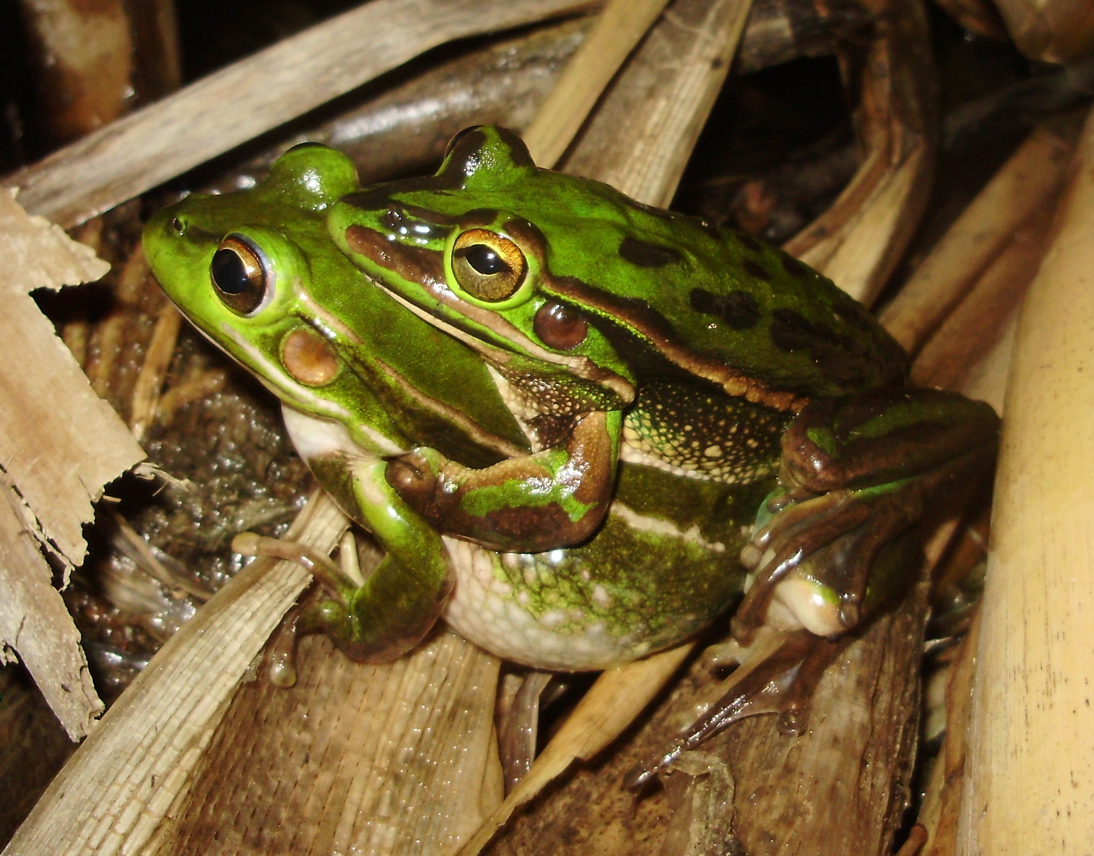 WestConnex could cause endangered frog species to croak it