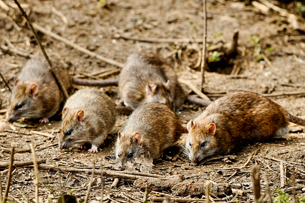 Hide and Squeak – Rat Tales Increasing Across City