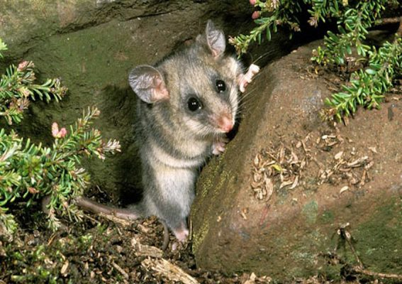 THE NAKED CITY – YOUR PYGMY POSSUM PET