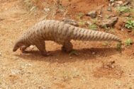 THE NAKED CITY – Revenge Of The Pangolin