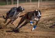Hundreds of greyhounds died on tracks, report reveals